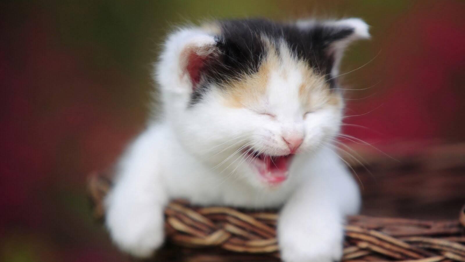 Komik kedi videoları neden bu kadar çok izleniyor?