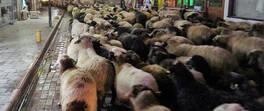 Şehirden koyun sürüsü geçti | Video