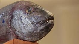 7 kiloluk dev balıkla sokak sokak koşturdu!