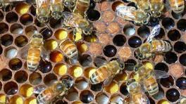 Arılar nasıl bal yapıyor?