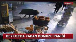 Beykoz'da yaban domuzu paniği!
