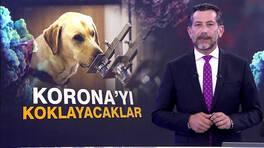 Köpekler Korona'yı koklayacak!