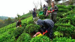 Rize'de çay toplama şenliği!