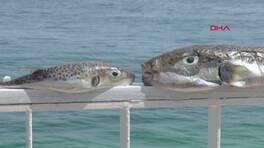 Balon balığının derisinden çanta ve ayakkabı yapacaklar